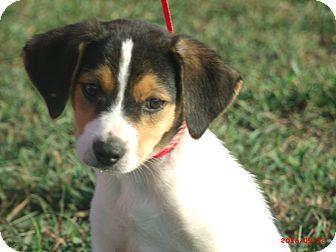 Border Collie/Beagle Mix Puppy for adoption in Sanford, Maine - CHARLIE