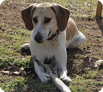 Coonhound/Labrador Retriever Mix Dog for adoption in Hayes, Virginia - Leena