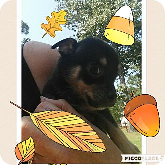 Terrier (Unknown Type, Small)/Chihuahua Mix Puppy for adoption in Media, Pennsylvania - PETER PAN
