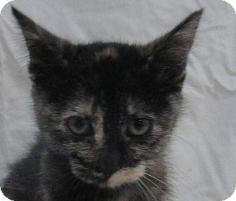 Domestic Shorthair Kitten for adoption in Lloydminster, Alberta - Howl