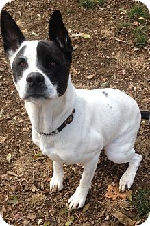 Cattle Dog Mix Dog for adoption in South Park, Pennsylvania - Sadie