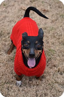 Miniature Pinscher/Dachshund Mix Dog for adoption in Nyack, New York - Gonzo