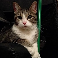 American Shorthair Cat for adoption in Colorado Springs, Colorado - Oliver