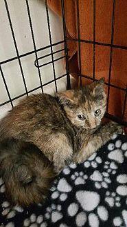 Calico Kitten for adoption in Houston, Texas - CHICA