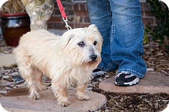 Cairn Terrier/Yorkie, Yorkshire Terrier Mix Dog for adoption in haslet, Texas - maxine
