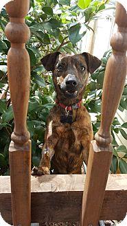Italian Greyhound Mix Dog for adoption in Youngsville, North Carolina - Cleo
