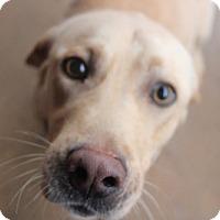 Adopt A Pet :: Petey #2 - Towson, MD