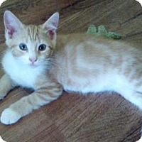 Domestic Shorthair Kitten for adoption in White Bluff, Tennessee - Glimmer