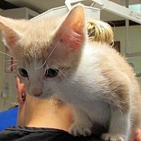 Adopt A Pet :: Ba Litter - Pumpkin - Williamston, MI