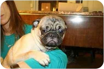 Pug Puppy for adoption in Long Beach, New York - Petey