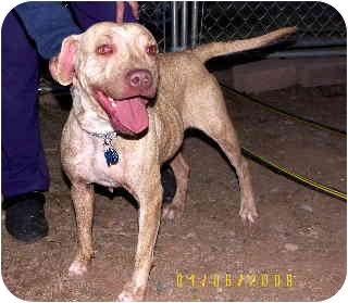 Pit Bull Terrier Mix Dog for adoption in Scottsdale, Arizona - Mona