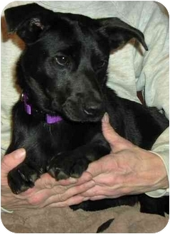 Basset Hound/Labrador Retriever Mix Puppy for adoption in Charlottesville, Virginia - Stevie