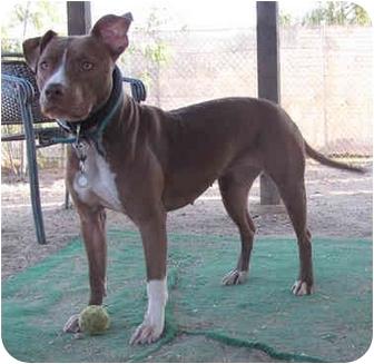 American Pit Bull Terrier/American Pit Bull Terrier Mix Dog for adoption in Burbank, California - LYDIA