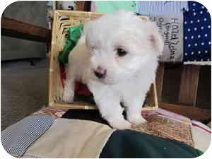 Maltese Puppy for adoption in Canton, Massachusetts - Kaylee