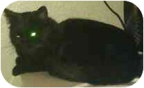 Domestic Shorthair Cat for adoption in Phoenix, Arizona - James Bond