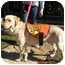 Photo 1 - Labrador Retriever Mix Dog for adoption in Cumming, Georgia - Butterscotch