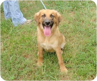 Golden Retriever/Shepherd (Unknown Type) Mix Puppy for adoption in Fairmount, Georgia - Wilma