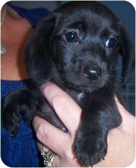 Dachshund/Labrador Retriever Mix Puppy for adoption in Richmond, Virginia - Clara Bell