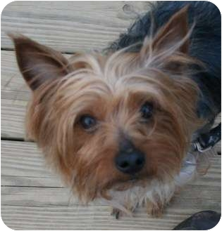 Yorkie, Yorkshire Terrier/Silky Terrier Mix Dog for adoption in Berea, Ohio - Joey