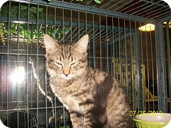 Exotic Kitten for adoption in Palm Springs, California - Buddy Boy