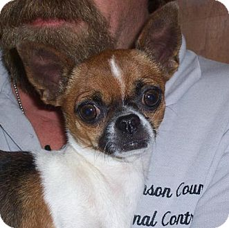 Chihuahua Dog for adoption in Mt. Vernon, Illinois - Tiny