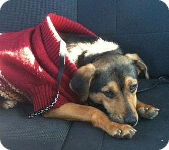 Beagle/Hound (Unknown Type) Mix Dog for adoption in Bardonia, New York - Reba