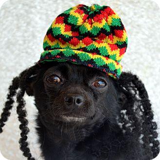 Chihuahua Mix Dog for adoption in Bridgeton, Missouri - Yoda