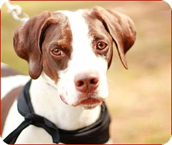 German Shorthaired Pointer Mix Dog for adoption in Marietta, Georgia - Lancer