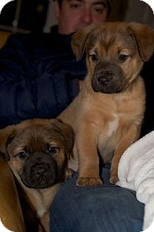 Boxer/Mastiff Mix Puppy for adoption in CHAMPAIGN, Illinois - OPHELIA