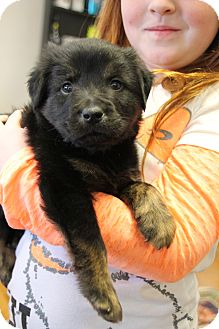Rottweiler/Shepherd (Unknown Type) Mix Puppy for adoption in Nashville, Tennessee - Woody
