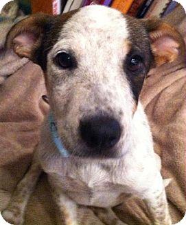 Australian Cattle Dog Mix Puppy for adoption in Phoenix, Arizona - Chloe