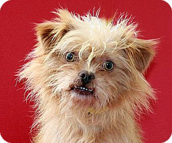 Brussels Griffon Mix Dog for adoption in Berkeley, California - Russell