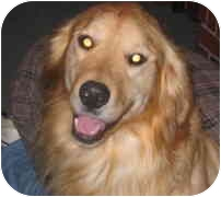 Golden Retriever Dog for adoption in Cleveland, Ohio - Hank