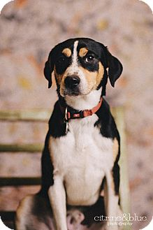 Beagle/Australian Cattle Dog Mix Dog for adoption in Portland, Oregon - Jimmy