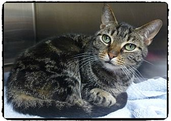 Domestic Shorthair Cat for adoption in Marietta, Georgia - WHISPER SEE ALSO HOWEL
