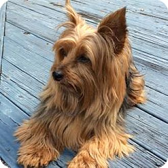 Yorkie, Yorkshire Terrier Dog for adoption in Orlando, Florida - Tony