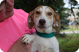 Beagle Mix Puppy for adoption in Farmington, Michigan - Davis: Loves Kids!