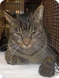 Domestic Shorthair Cat for adoption in Rapid City, South Dakota - Marley