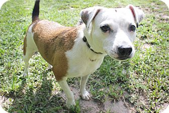 Jack Russell Terrier Mix Dog for adoption in Boca Raton, Florida - Lina