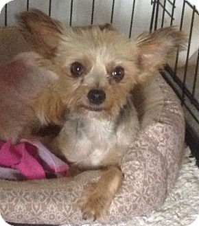 Yorkie, Yorkshire Terrier/Poodle (Toy or Tea Cup) Mix Dog for adoption in San Antonio, Texas - I need you