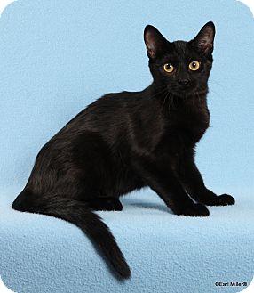 Domestic Mediumhair Cat for adoption in Las Vegas, Nevada - Toffee