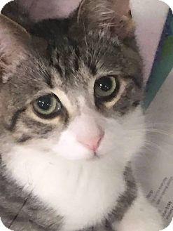 Domestic Shorthair Cat for adoption in Anoka, Minnesota - Jetson