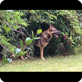 German Shepherd Dog Dog for adoption in Houston, Texas - Brego