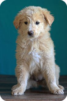 Golden Retriever Mix Dog for adoption in Waldorf, Maryland - Orange