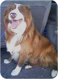 Border Collie Puppy for adoption in Provo, Utah - APACHE