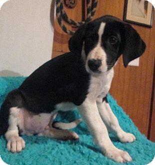 Beagle Mix Puppy for adoption in Waldron, Arkansas - AIDEN BARKLEY