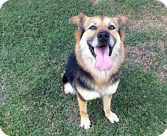 Border Collie/Shepherd (Unknown Type) Mix Dog for adoption in Sunnyvale, California - Phoebe