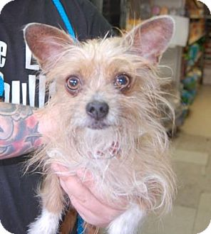 Terrier (Unknown Type, Small) Mix Dog for adoption in Brooklyn, New York - Kiku