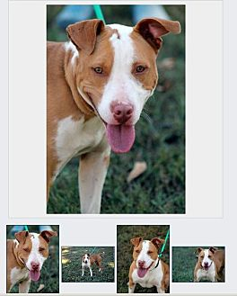 Bull Terrier/Hound (Unknown Type) Mix Dog for adoption in Baxter, Tennessee - Melanie