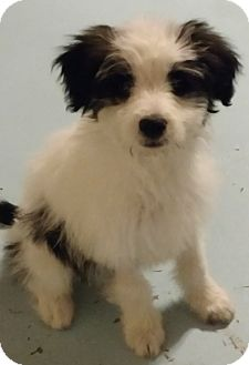 Terrier (Unknown Type, Small)/Poodle (Miniature) Mix Puppy for adoption in San Diego, California - Elvis